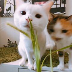 ペット/エノコログサ/玄関 新鮮お食事会は この2ニャンの戦い! マ…