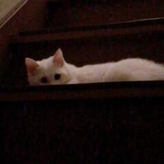 ねことの暮らし/ねこと暮らす/階段 マロたん仔猫の頃。先輩ニャンを待ち伏せ🎵…(2枚目)