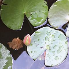 水蓮池/水蓮/早朝ウォーキング/散歩コース 今朝のウォーキングはご近所の水蓮池へ🐾🐾…(1枚目)