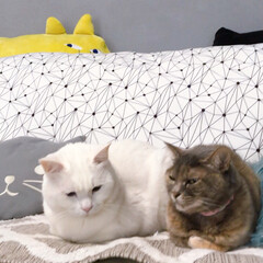 セルフペイント壁/ファブリックパネル手作り/猫との暮らし/ねこと暮らす ソファーはボク、ワタシ達のもんニャ!(4枚目)