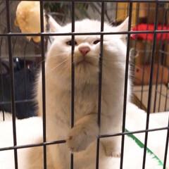 猫との暮らし/ねことの暮らし/ねこと暮らす/しろねこ マロたんの仔猫時代💓 「出してくだちゃい…