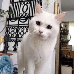白ネコ/白ねこ/白猫/しろねこ/猫と暮らす/ねこと暮らす/... 何食べてんのでしゅか⁉️ くれないんでし…(3枚目)