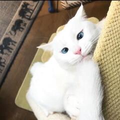 キャットタワー/猫と暮らす/ペット キャットタワーにぶら下がって遊んでるニャ…