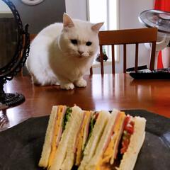 サンドイッチ/しろねこ/ねこと暮らす/ねことの暮らし サンドイッチ作ったよ〜 1枚目は中身だよ…(4枚目)