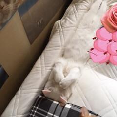 猫と暮らす/シンデレラフィット こんな寝方したのはこの時だけニャ❤️ は…