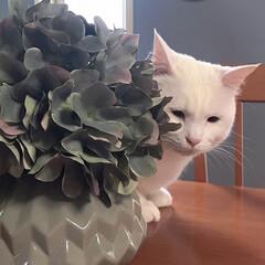 白猫/猫との暮らし/猫と暮らす/セルフペイント壁/しろねこ/ねこと暮らす/... テーブルの上で監視中?(3枚目)