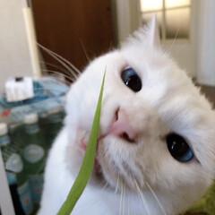 エノコログサ/ねこ/猫/ねこと暮らす/白ねこ部/しろねこマロたん エノコログサうまいんじゃあーーー♥️🎶(1枚目)