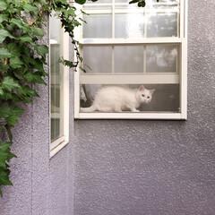 ニャルソック/白ねこ部/しろねこマロたん/ねこと暮らす/猫との暮らし/猫/... 窓からニャルソック❗👁✨(1枚目)