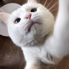 猫との暮らし/猫と暮らす 食べてると寄ってくる おねだりマロたん(2枚目)