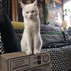 白ねこ部/猫/ねこと暮らす/猫との暮らし/ねこ/白猫/... 今日もカメラをむけると渋い顔 😂(2枚目)