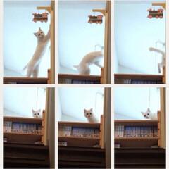 猫と暮らす/玄関吹き抜け 吹き抜けの壁の前に作った本棚にのって遊ぶ…