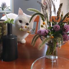 エノコログサ/植物のある暮らし/雑草の花束/ペット/猫 どんどんこっち来るよ〜🐾♥️