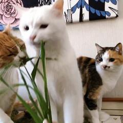 草お食事会/新鮮お食事会/ねこと暮らす/猫との暮らし/ねことの暮らし/ファブリックパネル手作り/... 🌱く🌱さ🌱お食事会はヤロウにゃんズのふた…