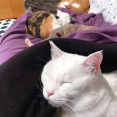 ソファー/ねことの暮らし/ねこと暮らす みんニャと一緒に寝たいけど…かーたんの膝…(7枚目)