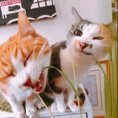 エノコログサ/ペット/猫/玄関 もう最後と言ってもいいぐらいのエノコログ…