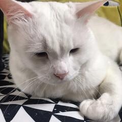 白ねこ部/しろねこマロたん/猫との暮らし/ねこと暮らす/猫/ねこ おててくるん❤️(2枚目)