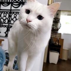 白ネコ/白ねこ/白猫/しろねこ/猫と暮らす/ねこと暮らす/... 何食べてんのでしゅか⁉️ くれないんでし…(2枚目)