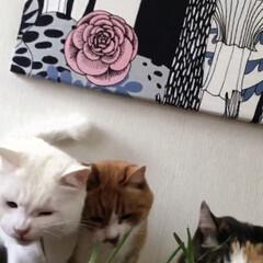 エノコログサ争奪戦/エノコログサ/ねこ/猫/ねこと暮らす/猫との暮らし やったにゃ!今日はエノコロのお土産ニャ❤️(4枚目)