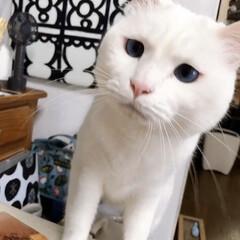 白ネコ/白ねこ/白猫/しろねこ/猫と暮らす/ねこと暮らす/... 何食べてんのでしゅか⁉️ くれないんでし…