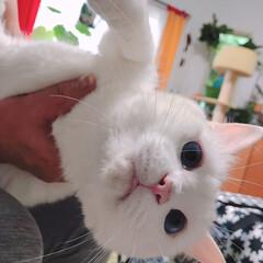 しろねこ/猫と暮らす/猫との暮らし/白猫 かーたんに捕まった! そしてねーたんに爪…