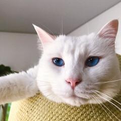 しろねこマロたん/白ねこ部/猫との暮らし/ねこと暮らす/猫/ねこ マロたんのブルーアイ💙(2枚目)