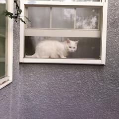 ニャルソック/白ねこ部/しろねこマロたん/ねこと暮らす/猫との暮らし/猫/... 窓からニャルソック❗👁✨(3枚目)