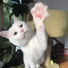 しろねこ/ねこと暮らす/ねことの暮らし/猫 おりゃあぁぁぁーー!