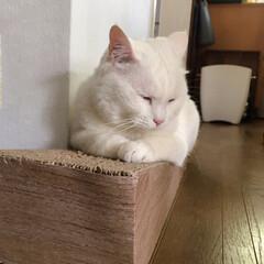 猫/ねこ/爪とぎ/猫と暮らす/にゃんこ同好会 斜めになってる爪とぎにしたら マロばかり…(4枚目)