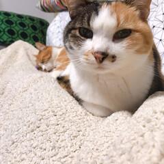 きょうだい猫/ねこと暮らす/猫との暮らし ちょっと〜 あのひと寝てばっかりよ💢 つ…