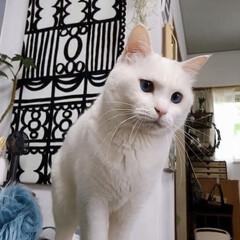 白ネコ/白ねこ/白猫/しろねこ/猫と暮らす/ねこと暮らす/... 何食べてんのでしゅか⁉️ くれないんでし…(4枚目)