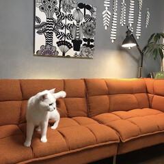 marimekkoパネル/セルフペイントの壁/ソファーベッド/猫との暮らし/ねこと暮らす/インテリア/... モニターをさせて頂いたソファーとニャンズ…(4枚目)