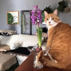 アンティーク調建具/セルフペイント壁/猫と暮らす/インテリア ぺっちゃんとヒヤシンス♥️ 遠くにマロた…
