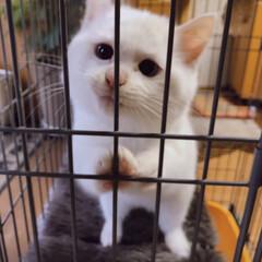 仔猫の頃/しろねこ/猫との暮らし 出してくだしゃい〜❤️