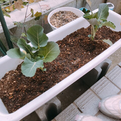 家庭菜園/春のフォト投稿キャンペーン/LIMIAごはんクラブ/フォロー大歓迎/わたしのごはん/グルメ/... 家庭菜園第1弾  茎ブロッコリー🥦とイチ…