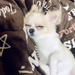 チワワロング/LIMIAペット同好会/ペット/ペット仲間募集/犬/わんこ同好会 トリミングでよっぽど疲れたのか、昨日夜、…