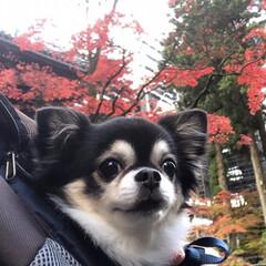 チワワ/日光/秋