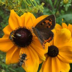 ガーデニング 蝶や蜂に大人気。ルドベキアです。