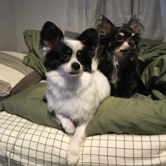 dog/愛犬/パピヨン/ロングコート/チワワ/ペット/... 2匹そろって同じ方向見てる(笑)
