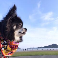 秋の空/散歩/ハロウィンバンダナ/犬/チワワ 快晴❤︎公園散歩