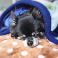 寝顔/毛布/チワワ/ペット/犬/うちの子自慢 コンテスト応募、久々の投稿です