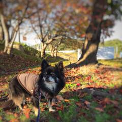 落ち葉の絨毯/散歩/チワワ/秋/犬 秋ですね🍁🍂
