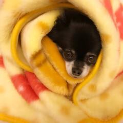 暖かい/毛布/チワワ/ペット/犬 寒くなってきましたね♪