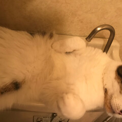 可愛い/すやすや/爆睡/猫/スコティッシュフォールド/トイレタンク/... 今日はトイレで爆睡中