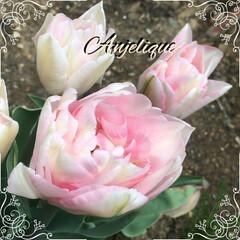 ガーデニング/チューリップ 花びらがいっぱいで、ピンク色の可愛いチュ…