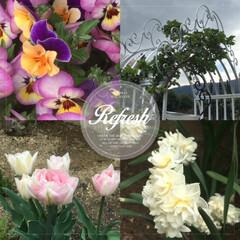 ガーデニング/春の花/球根/チューリップ/パンジー/スイセン 代表的な、スプリングフラワー♪ パンジー…