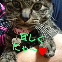 キジトラ猫ちゃん/しらす/にゃん倶楽部/保護にゃん🐈/リミアの冬暮らし 10月に保護した、しらす🐱 まだ、里親さ…(4枚目)