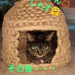 猫ちぐら/ペット/保護にゃん🐈/ハンドメイド 昨年、暮れに保護したキジトラしらす🐱 弟…