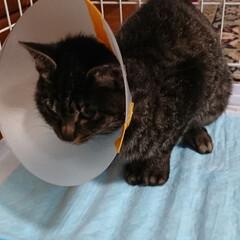 保護にゃんキジトラ 3日前に保護をしたキジトラ猫さん🐈 無事…(3枚目)