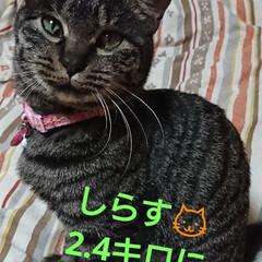 キジトラ猫ちゃん/しらす/にゃん倶楽部/保護にゃん🐈/リミアの冬暮らし 10月に保護した、しらす🐱 まだ、里親さ…(2枚目)