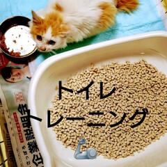 家族/ペット/猫さん大好き/頑張れ/仔猫/トイレトレーニング/... 保護ニャンくん😸 今日からトイレトレーニ…